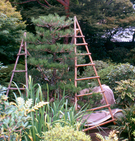Spring Training for Japanese Black Pine