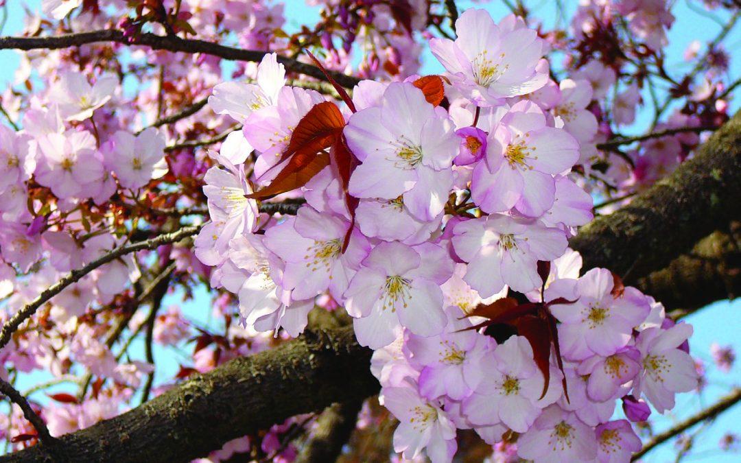 Beauty in Adversity:  Yoshino Cherries at the Chicago Botanic Garden