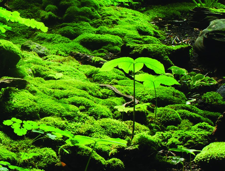 A Tour of Moss Gardens in Japan  and North America